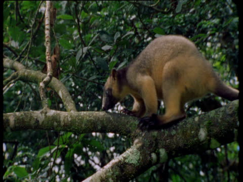 Lumholtz tree kangaroo hops along tree branch in forest canopy, Queensland