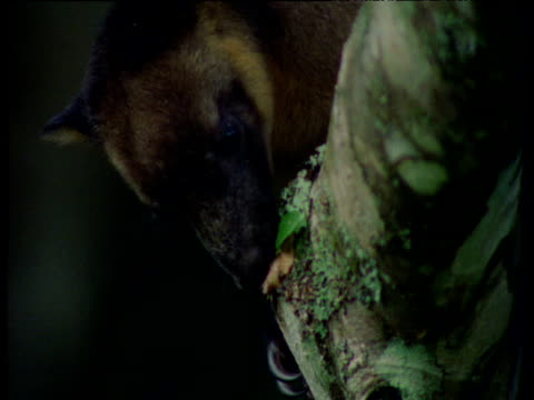 Lumholtz tree kangaroo nibbles at leaf, then spits it out, Queensland