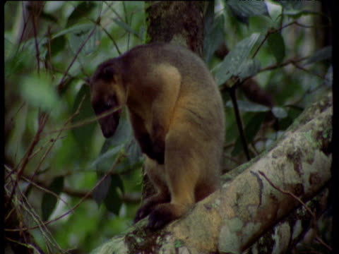 lumholtz tree kangaroo sits and grooms in tree, queensland - perching stock videos & royalty-free footage