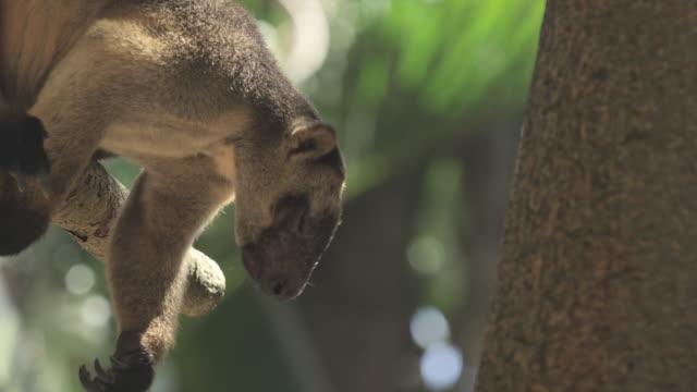 Lumholtz's tree-kangaroo leans from tree