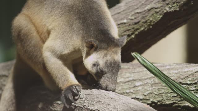 Lumholtz's tree-kangaroo sniffs tree