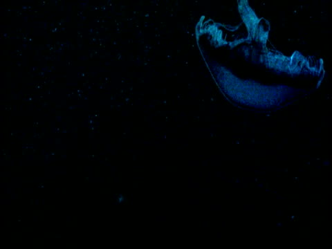 a luminous blue jellyfish swims upside down through black water. - upside down jellyfish stock videos & royalty-free footage
