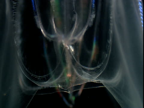 luminous coloured bands flicker along the side of a transparent comb jelly. - struttura cellulare video stock e b–roll