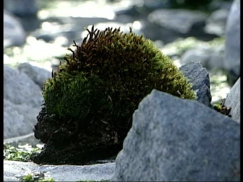 CU lump of moss amongst rocks, Antarctica