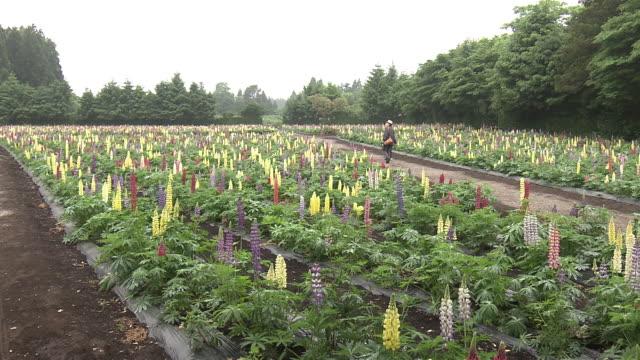lupin flowers in aomori - aomori prefecture stock videos & royalty-free footage