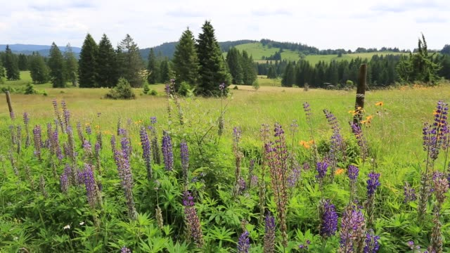 Lupin flowers in the Black forest near Todtmoos village, Waldshut district, Baden-Württemberg, Germany, Europe
