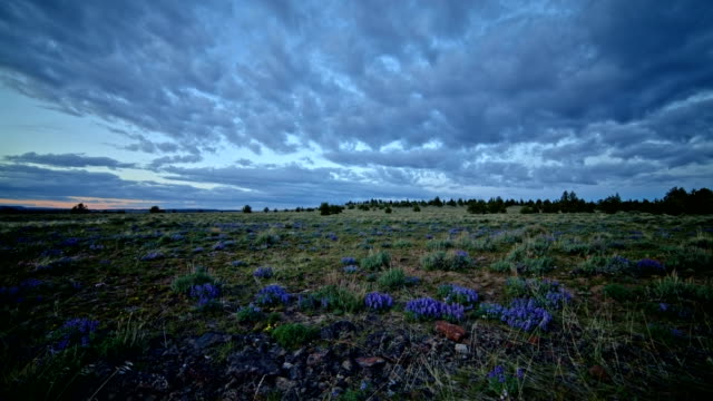 lupine wide desert wildflowers at sunset south steens mountain near malheur national wildlife refuge - oregon us state stock videos & royalty-free footage
