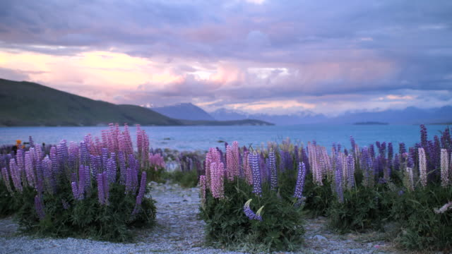 lupins flower purple flower with landscape at dusk - wildflower stock videos & royalty-free footage