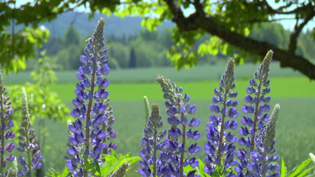 lupins - flowerbed stock videos & royalty-free footage