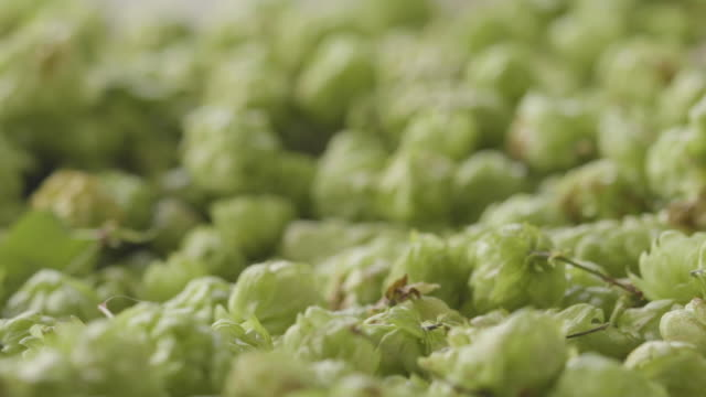 lupulo to make beer - agua stock videos & royalty-free footage