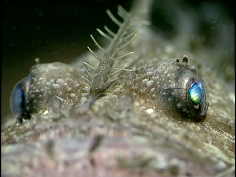 a lure appendage tops the head of an angler fish. - animal eye stock videos & royalty-free footage