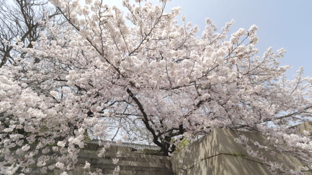 lush cherry blossom in osaka, low angle - satoyama scenery stock videos and b-roll footage