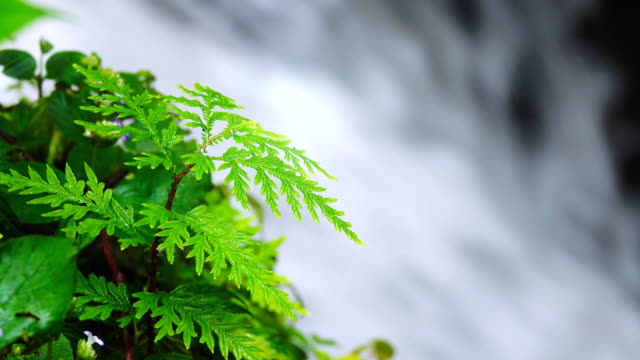 lush ferns on rock with falling water from waterfall behind - bugtiger stock videos and b-roll footage