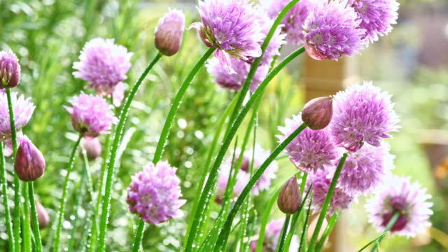 lush flowering chives, early morning - panning stock videos & royalty-free footage