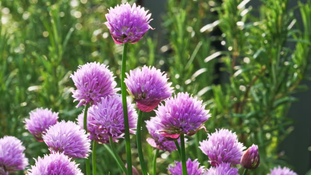lush flowering chives, early morning - onion stock videos & royalty-free footage