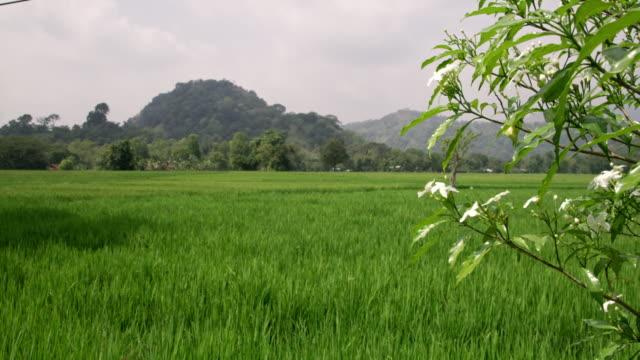 vidéos et rushes de vert de lush ms herbe collines de champ et ensoleillées, sri lanka - culture sri lankaise