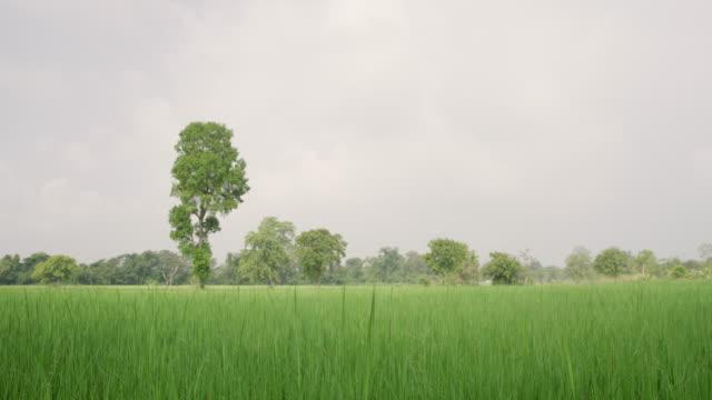 vidéos et rushes de les hautes herbes ms lush green et arbres en champ, sri lanka - culture sri lankaise