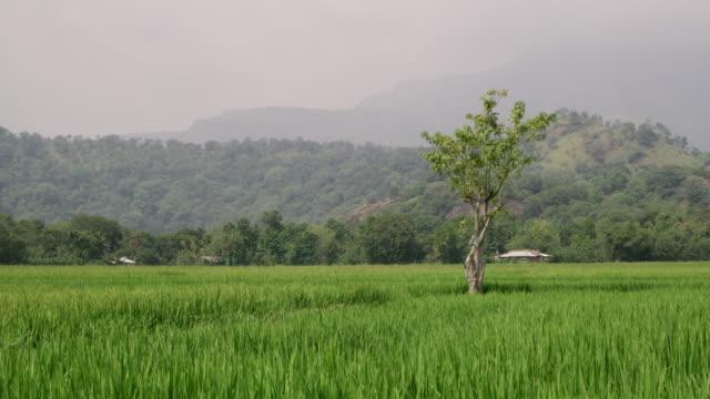vidéos et rushes de herbes hautes ws lush green dans domaine ensoleillé, sri lanka - culture sri lankaise