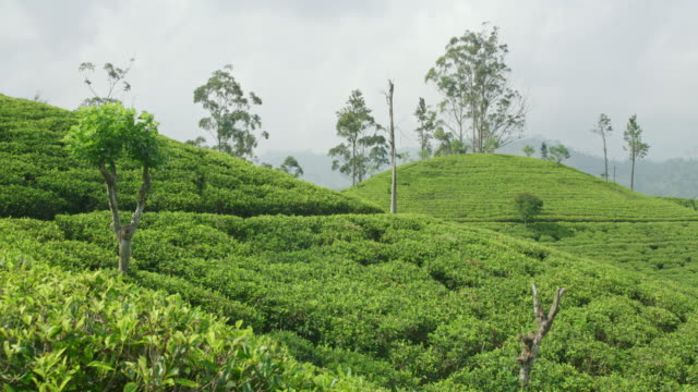 vídeos de stock e filmes b-roll de ms lush green tea plants growing on sunny,idyllic hillside,sri lanka - cultura cingalesa