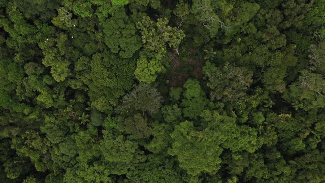 lush green tropical rainforest tree canopy, directly above, moving down view - full frame stock videos & royalty-free footage
