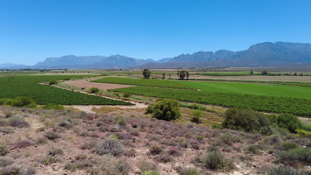 lush green vineyards in an arid area with mountain range backdrop mid day on a clear summer day - western cape province stock videos & royalty-free footage