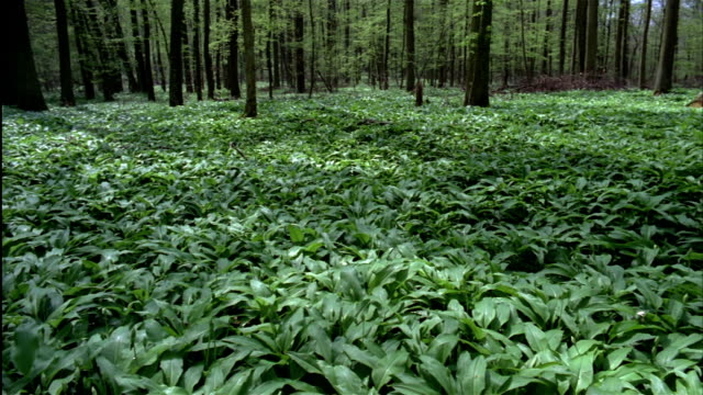 Lush green wild garlic covers a forest floor. Germany