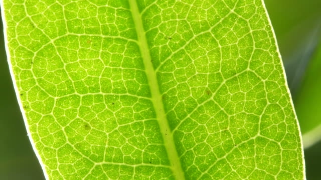 lush plant leaf, close up - leaf vein stock videos and b-roll footage