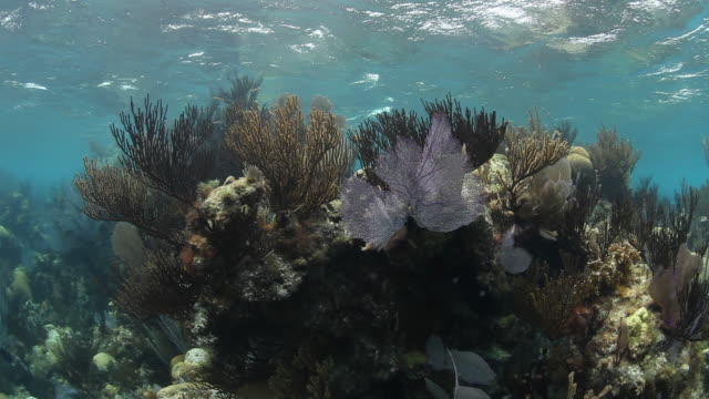 Lush reef ecosystem in Sargasso Sea, POV