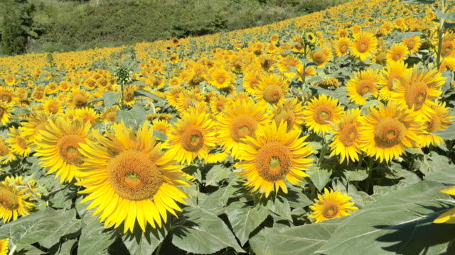 lush sunflower field in kitakata, close up - ヒマワリ点の映像素材/bロール