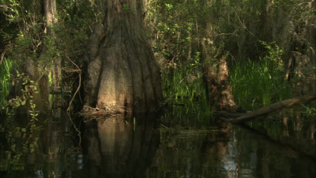 lush vegetation grows in the okefenokee swamp. - オケフェノキー国立野生生物保護区点の映像素材/bロール
