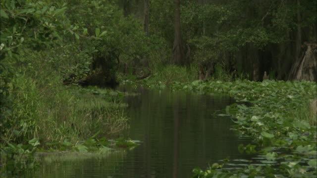 lush vegetation thrives in the okefenokee swamp. - オケフェノキー国立野生生物保護区点の映像素材/bロール