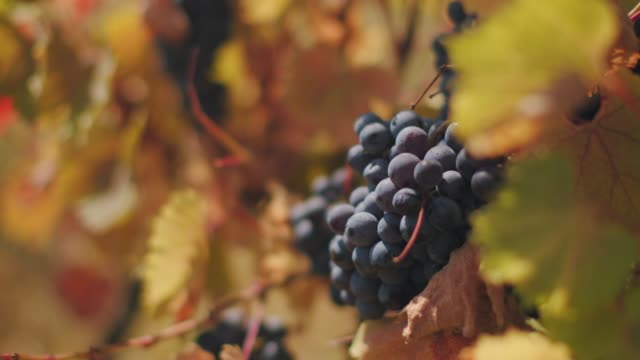 lush wine grapes clusters hanging on the vine - uva video stock e b–roll