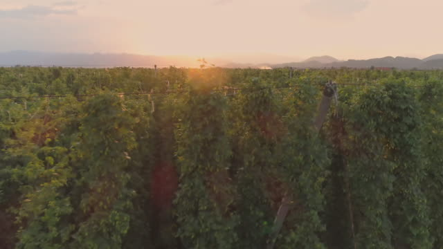 ms lush,green hops growing on vines,slovenia - hops crop stock videos and b-roll footage