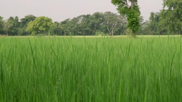 vidéos et rushes de ms lush, terrain avec gazon vert vibrant, tall, sri lanka - culture sri lankaise