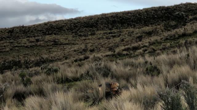 lycalopex culpaeus - ecuador stock videos & royalty-free footage
