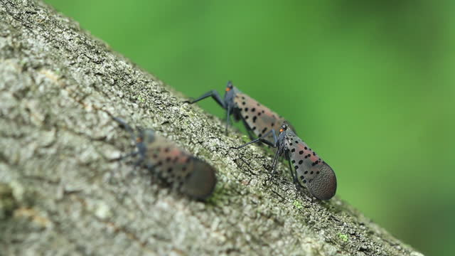 lycorma delicatula (spotted lanternfly) - spotted stock videos & royalty-free footage