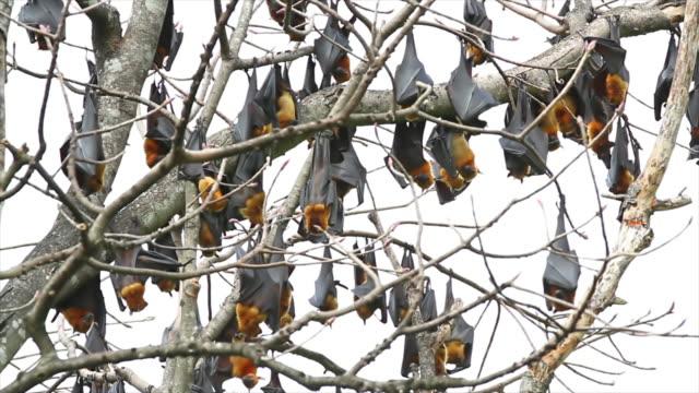 Lyie des flyingfox Schlafen in die Baum