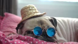 Lying down adorable pug puppy dog with sunglasses and straw hat sleeping rest on couch on sofa in summer.