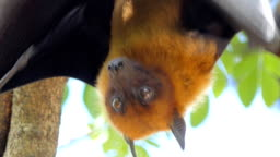 Lyle's flying fox (Pteropus lylei) on a tree.
