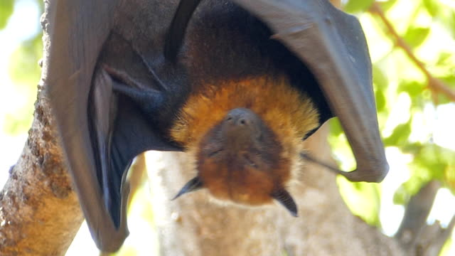 lyle's flying fox - animal wing stock videos & royalty-free footage