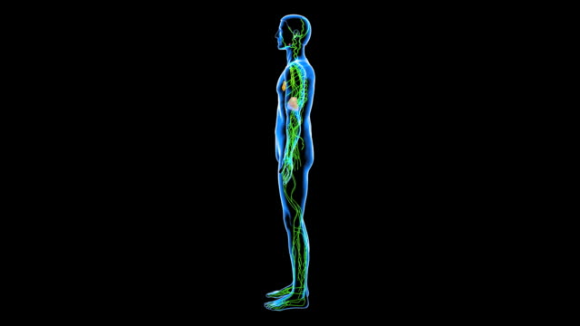 lymphatic system - lymphatic system stock videos & royalty-free footage