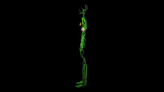 lymphatic system - lymphsystem stock-videos und b-roll-filmmaterial