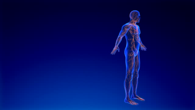lymphatic system - vena video stock e b–roll
