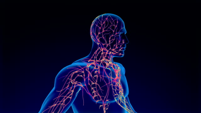 lymphatic system - arteria video stock e b–roll