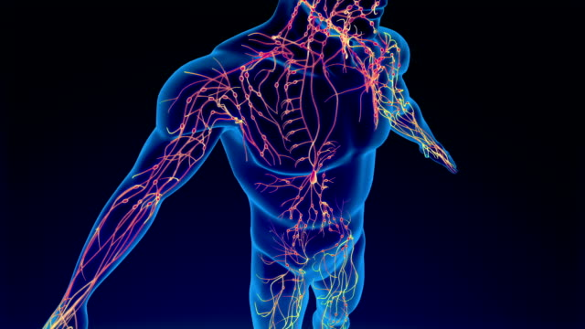 lymphatic system - biomedical illustration stock videos & royalty-free footage