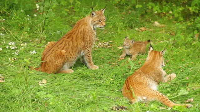 vidéos et rushes de lynx parents and cub playing in grass - lynx