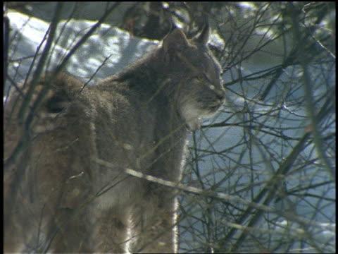 vidéos et rushes de a lynx seeks concealment in a thicket. - lynx