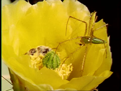 ms lynx spider, peucetia viridans, on flower of prickly pear cactus, opuntia polyacantha, bee moving underneath inside flower, usa - spider flower stock videos & royalty-free footage