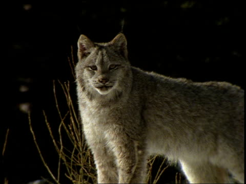 vidéos et rushes de a lynx stands alert in the snow then turns around and walks into a forest. - lynx