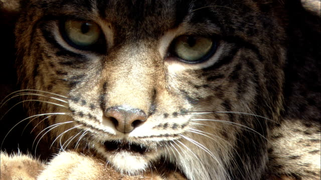 a lynx stares straight ahead. - schnurrhaar stock-videos und b-roll-filmmaterial